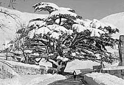 History of skiing in the Cedars of Lebanon