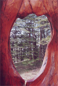 Cedars forest of Lebanon